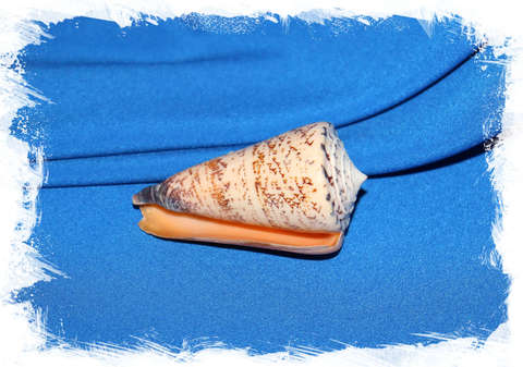 Конус талассиаркус (Conus thalassiarchus) 9 см.