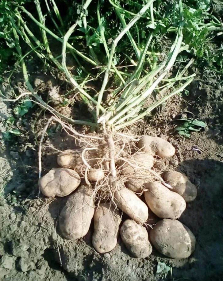 Картофель народной селекции Сынок
