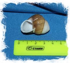 Хеликостула флорида размер