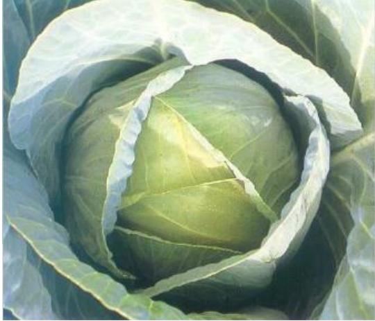 Белокочанная Тенесити F1 семена капусты белокочанной, (Sakata / Саката) вапыкпукп.PNG