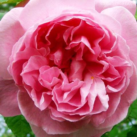 Роза парковая Мэри Роуз
