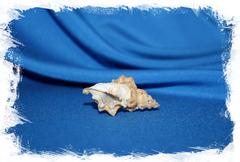 Морская раковина Bursa quirihorai, Бурса кьюрихорай