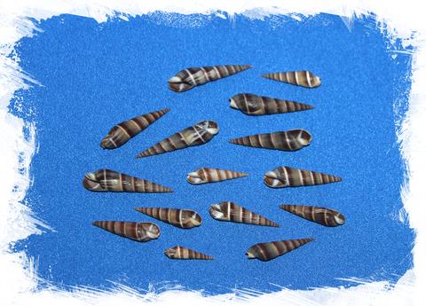 Теребра коричневая