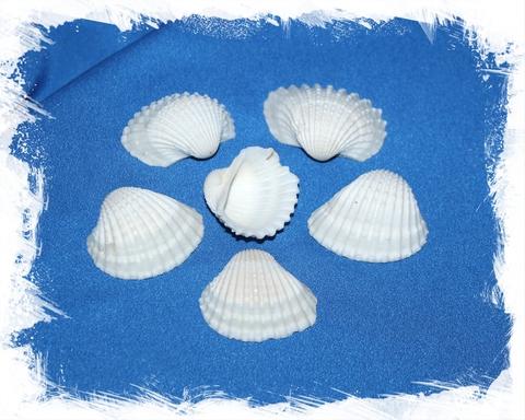 Анадара 2 - 4 см