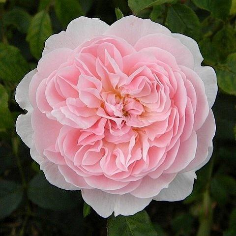 Роза английская душистая Висли 2008