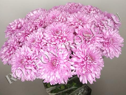 Розовые шарообразные хризантемы