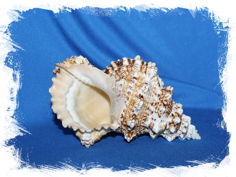 Морская раковина натуральная декоративная Бурса Бубо 13-16 см
