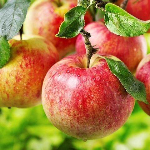 Яблоня раннезимний сорт Башкирский красавец