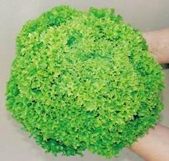 Касабелла семена салата листовой, (Seminis / Семинис)