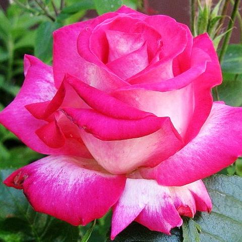 Роза Чайно-гибридная Роз Гожар