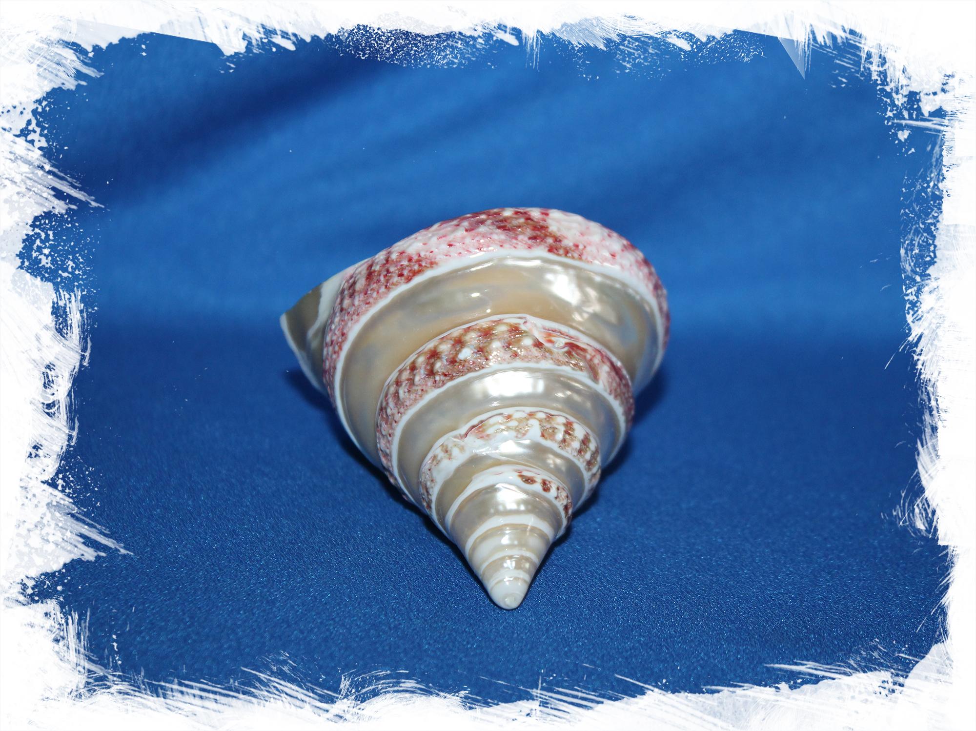 Перламутровая морская ракушка для декора