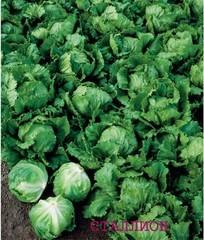 Сталлион семена салата айсберг, (Seminis / Семинис)