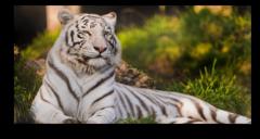 "Постер ""Амурский тигр"""