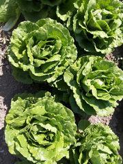 Равив семена салата айсберг, (Hazera / Хазера)