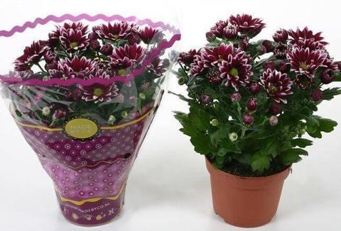 Цветы в горшке купить интернет магазин купить тюльпаны к восьмому марта