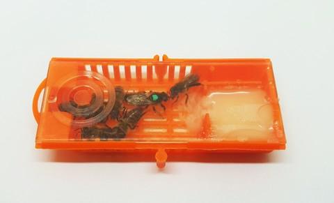 Пчеломатка карника в клеточке