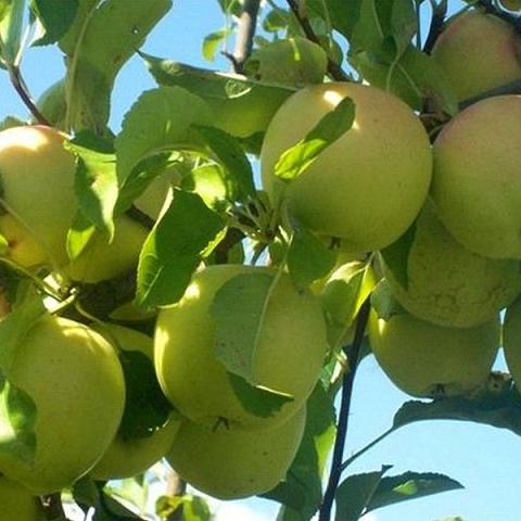 Яблоня плодовая сорт Шампанское