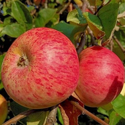 Яблоня осенний сорт Штрейфлинг (Осеннее полосатое)