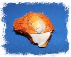 Спондилус Барбатус оранжевый