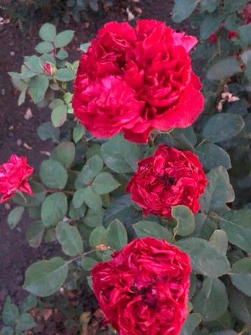 Садовые розы премиум класса