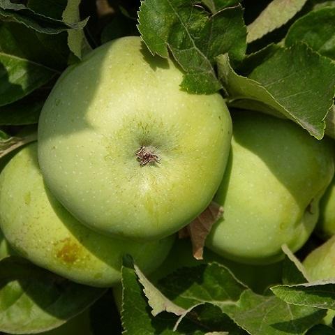 Яблоня зимний сорт Антоновка