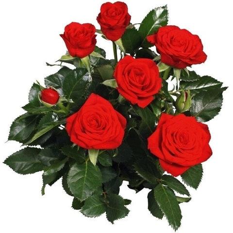 Роза Кордана красная Скарлетт Мерседе