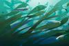 razvorot-elektricheskie-ryby