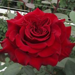 Роза чайно-гибридная Хартс