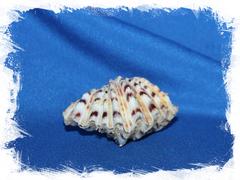 Двустворчатая раковина Hippopus hippopus, Гиппопус