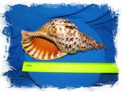 Харония Тритонис размер