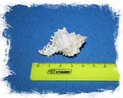 Коллекционная ракушка с оперкулумом