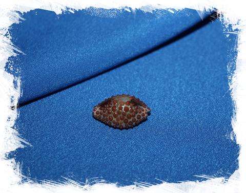 Дженнерия пустулата (Jenneria pustulata)