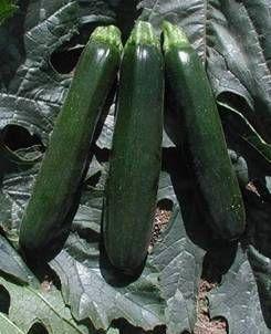 Кабачок Кандела F1 семена кабачка, (Sakata / Саката) КАНДЕЛА_F1_семена_овощей_оптом.jpg