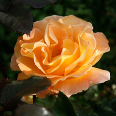 Роза чайно-гибридная Виски