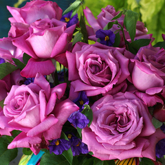 Роза чайно-гибридная Клод Брассер