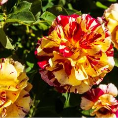 Роза флорибунда Сим Салабим