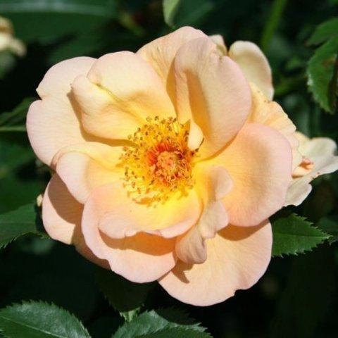 Роза плетистая Майголд