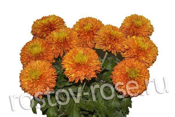 Оранжевые шарообразные хризантемы