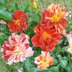 Роза плетистая Summer Lodge