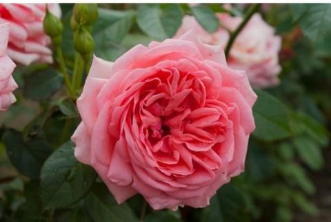 Роза Кимоно флорибунда