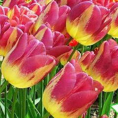 Tulip-Boston-01