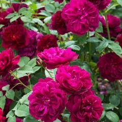 Роза парковая Дарси Басселл