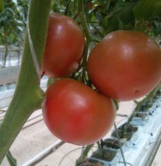 3725 F1 семена томата индетерм.., (Seminis / Семинис)
