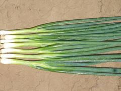 Банчинг стар семена лука на перо, (Enza Zaden / Энза Заден)