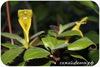 Колумнея, Multiflora