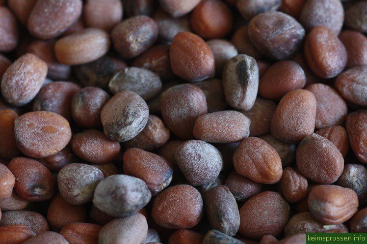 Редис семена BIO, 100 гр (Италия)