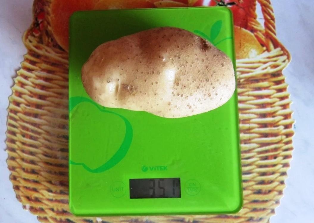 Вес картофелины 351 грамм