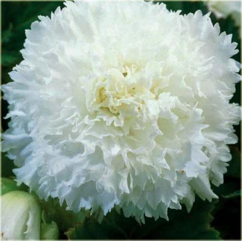 Бегония бахромчатая белая (2 клубня)