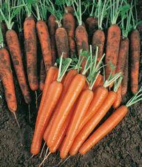 Сопрано F1 семена моркови, (Vilmorin / Вильморин)
