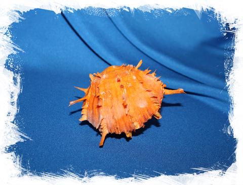 Оранжевый китайский спондилус (Spondylus sinensis)